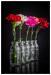 1bottles_of_carnation_sjs