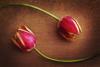 tulips-74d87c81f3412ea98cb7f560945e3afc69953c15