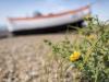 3rd Joint - Yellow Horned Sea Poppy - Nigel Hazel