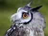 467 Owl 1st Clubman