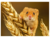 Commended Harvest Mouse By Michelle Howell