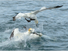 Highly Commended Swoop By Peter Wells