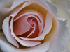 2 Rose in the morning 3 LRPS resub