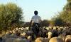 sheep-herding