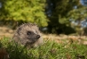 westernhedgehog