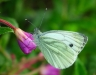 03-17-green-veined-white-pieris-rapae-annual-applied-january-2012