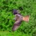 red-kite003