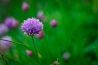 chive-blossom