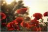 sunset-poppy
