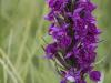 Marsh Orchid (Dactylorhiza Purpurella)