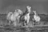 2nd Place Digital - Carmargue Horses - John Gardner