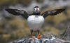 3rd Place Print - Displaying Puffin - Phil Watson
