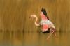 1st Place Digital - Greater Flamingo - John Gardner