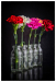 1bottles_of_carnation_sjs