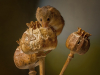 Fieldmouse on Poppies