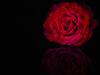 roses-are-red-e273797dd9e519998f16d3d0a3e767a3d0bfae6d