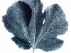 2nd, fig leaf.keith barras.print