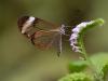 3rd Place - Glasswing Butterfly - Paul Wagstaff