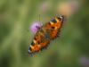 1st Place - Tortoiseshell Butterfly - Jack Bunn