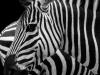 two-stripey-pyjama-horses-f2fec01d07d3faa95f5392ab75f0fd33e1447427