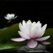 1st - Water Lily - David Kershaw