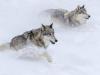 Racing Grey Wolves