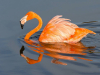 1st Flamingo By Phill Glendhill