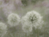 Highly Commended Allium By Sara Cremer