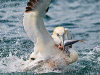 1st Place Gannets Fighting Over Food By Paul Wagstaff