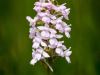 1st Place Marsh Fragrant Orchid_(Gymnadenia conopsea var. densiflora)By Steve Womack