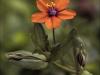 Commended Scarlet Pimpernel - Anagallis arvensis By David Kershaw