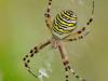 Female on web showing classic zig zag pattern, Hertfordshire, England, UK. September. Focus stacked image