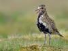34-Golden Plover Calling