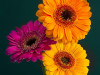 Prints 3rd Place Gerberas By Chris Goodacre