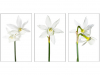 Prints Highly Commended Narcissi By Chris Goodacer