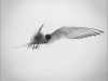Applied Commended Arctic Tern By Michelle Howell