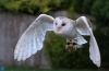 Commended - Barn Owl By Stephen Paver