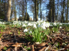 Snowdrops its Spring