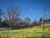 Walled Daffodils