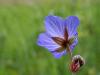 Commended Digital - Meadow Cranesbill (Geranium pratense) - Roger Gaynor