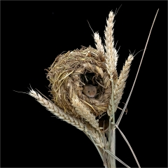 Highly Commended - Harvest Mouse in nest - Michelle Howell