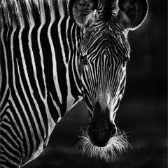 Applied-1st-Zebra-By-Nigel-Hazell-