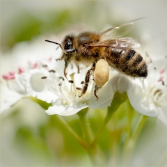 Applied - Commended - Worker Bee - PaulWagstaff