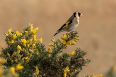 Goldfinch at St Aidans - Keith Nunns