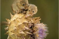 Highly commended - Harvest Mice - Peter Wells