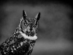 Prints Commended African Spotted Eagle Owl By Michelle Howell