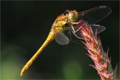2nd Print - Common Darter - Neil Clarke