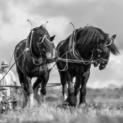 Prints - 1st Horses - At Work By Jane Lazenby-