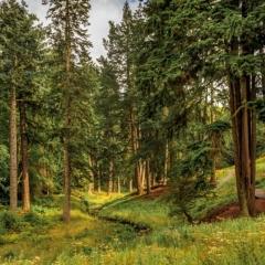 Pine Forest - Robert Bilton