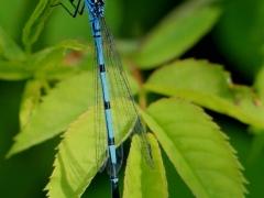 Blue Damsel Fly - John Mynard